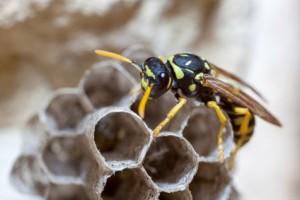 Hvepse dronning bygger hvepsebo