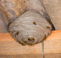 Sørg for at fjerne hvepsebo